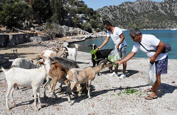 Aşırlı Adası'nın sahipleri, dağ keçileri