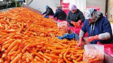 Beypazarı'ndan Rusya'ya 120 ton havuç ihracatı