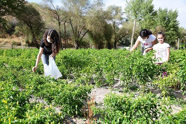 Çocuklar sebzeleri dalından koparıyor