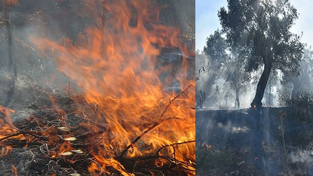 Edremit'te zeytinlik alanda yangını