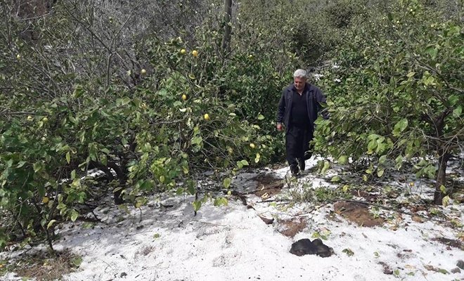 Erdemli'de dolu, meyve ağaçlarına zarar verdi