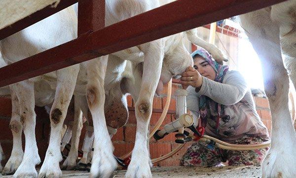 Koronavirüsle mücadele keçi sütü umudu