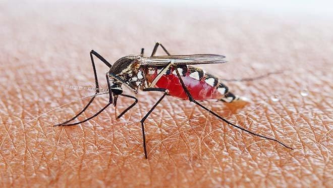Sivrisinekler Batı Nil virüsü ile hastalık saçıyor.