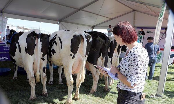 Tekirdağ'da inekler yarıştı
