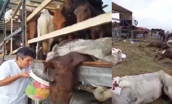 TIR parkında ölüme terk edilen atlar#video
