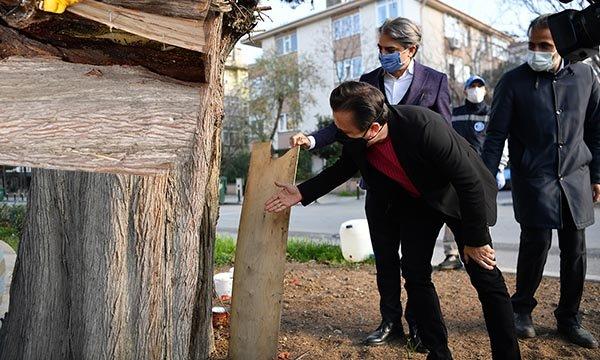 Tuzla'da 600 yıllık ağaç,arılara ev sahipliği yapıyor(video)